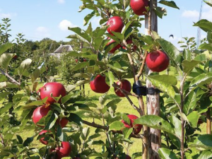 Our highly-prized Rosette Apples are ready for picking