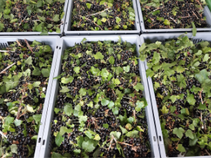 Fresh Blackcurrants from our Walled Garden